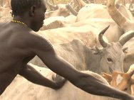 Southern Sudan tribeman vaccinating cattle