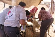 Ninawa, Baaj district. The ICRC distributes livestock to support vulnerable communities.