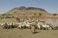 Through ICRC support, the Ministry of Animal Resources and Fisheries carried out vaccination of livestock in the most remote pastoral areas of Darfur, where state veterinarians were unable to go.