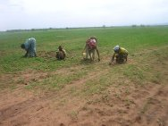 Gash Barka region, Eritrea. Women working their fields.