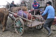 Lower Okona, South Ossetia. Distributing seed potatoes.