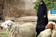 Najaf. A woman herds sheep purchased as part of an ICRC-supported livestock project.