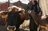 Amadiya District, Dohuk Governorate. A woman with an animal supplied by the ICRC as part of the organization's programme to support people in need.