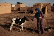 Kirkuk, Iraq. In 2001, this woman stepped on a landmine and lost a leg. She is feeding a cow that was donated to her by the ICRC.