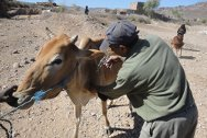 Amran governorate, north of Yemen. The ICRC, in cooperation with the Ministry of Agriculture, treats animals against screw-worms in al-Asha.