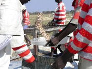 Zimbabwe, Anju Prison Farm, 2011. Inmates separate foreign particles from sugar bean seeds before packaging them into 50 kg bags.
