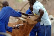 South Sudan. A tribesman's cow being vaccinated. The ICRC is currently in the process of vaccinating 100,000 animals against major disease in Twic county, Warrab state.