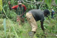 Guiglo, Côte d'Ivoire. Workers clear the coffee plantation of a family that has returned to their land.