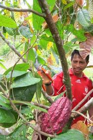 Los AFarmers have planted more than 500 hectares of cocoa in the rural San Miguel region of Putumayo department. The goal is to increase the food supplies and income of 320 families by boosting cocoa production.ampesinos han sembrado más de 500 hectáreas de cacao en la zona rural de San Miguel, Putumayo. Con el fortalecimiento de la producción del cultivo, se espera que 320 familias mejoren sus ingresos y su alimentación.