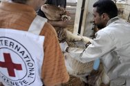 In 2011, the ICRC, working with the Ministry of Agriculture, supported the vaccination of some 250,000 head of livestock belonging to over 5,500 households affected by restricted access to land in the Jordan Valley and its environs.