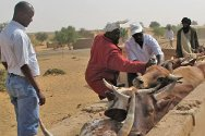 Gargouna, Gao region, Mali. Personnel vaccinate cattle during the veterinary programme, which also involves treating the animals and ridding them of parasites.