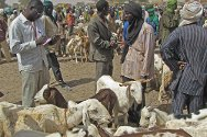 Banibangou market, Tillabéry, Niger. A Red Cross volunteer conducts a survey of livestock prices.