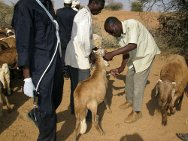 Kutum, Darfur. ICRC livestock vaccination campaign in cooperation with the Ministry of Animal Resources and Fisheries.