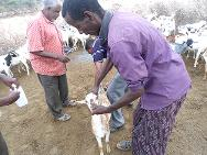 Somalia. The ICRC protects the livelihoods of pastoralists by treating their livestock against internal and external parasites while at the same time enhancing the livestock's productivity.