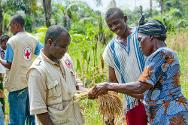 A farmer who has benefited from an ICRC/Liberia Red Cross rice production project offers a bunch of paddy to a Liberia Red Cross agronomist.