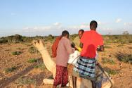 Puntland. Pastoralists affected by the disaster load their camels following an ICRC distribution.