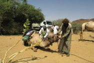 Darfur. A camel being vaccinated and checked for disease