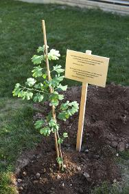 The newly planted sapling with a commemorative plaque in the courtyard of the ICRC's headquarters in Geneva.