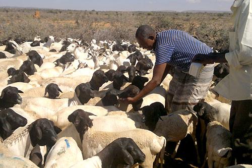 Somali Livestock