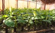 Minova. Healthy banana shoots before planting.