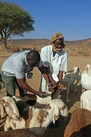 An ICRC employee vaccinates a sheep during the annual livestock vaccination and treatment programme.