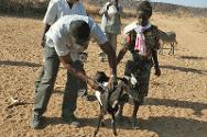 An ICRC employee vaccinates a goat during the annual livestock vaccination and treatment programme.