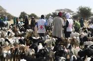 Niger Red Cross volunteers treat animals against parasites.
