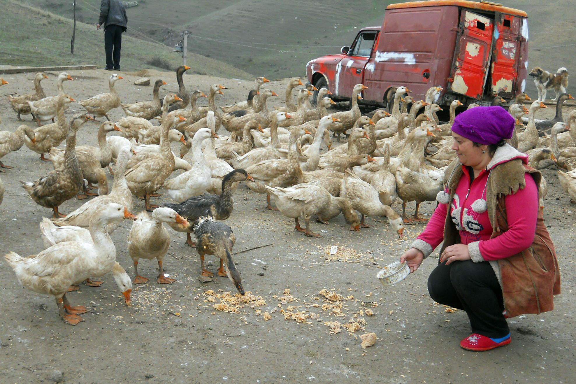 Блог о гусях