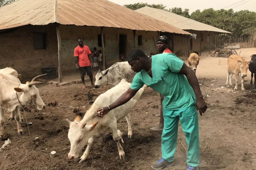 Nordguinea Bissau: Die Gesundheit der Herde ist eine Frage des Überlebens.