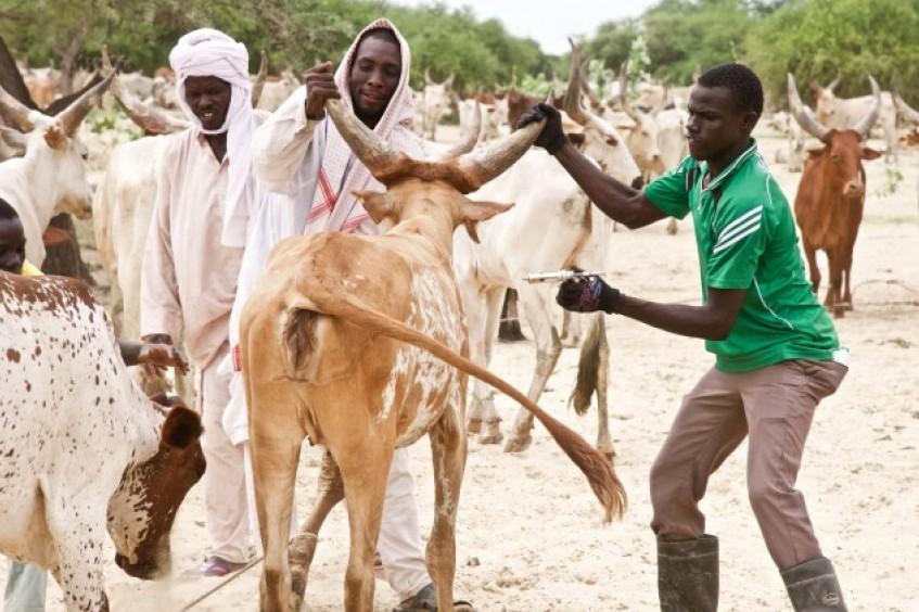 乍得:为牲畜接种疫苗以保护生计
