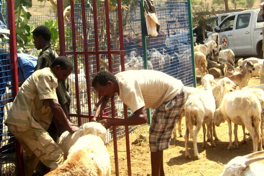 Érythrée: la survie du village dépend de l'état de santé de son bétail