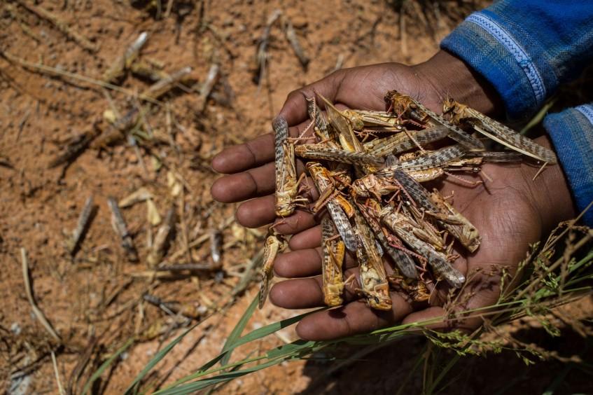 Ostafrika: Neue Heuschreckenplage inmitten der Covid-19-Pandemie