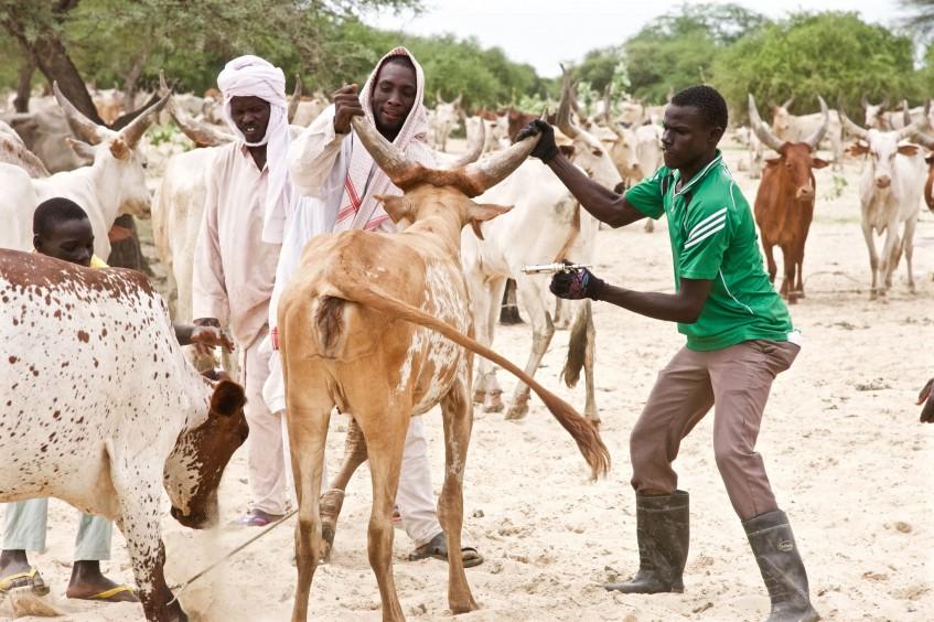 تشاد: تحصين الماشية لحماية سبل العيش