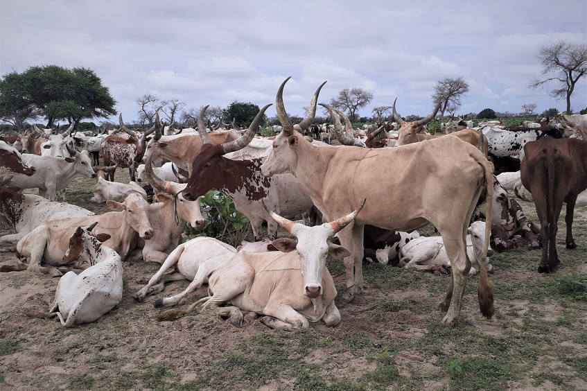 COVID-19, violence and climate change: Lake Chad herders in distress