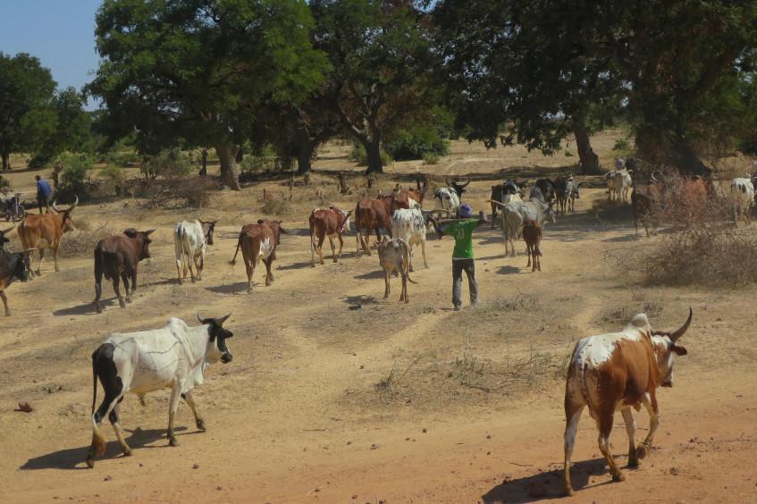 Mauritanie : « L'impact du Covid-19 a été durement ressenti par les éleveurs »