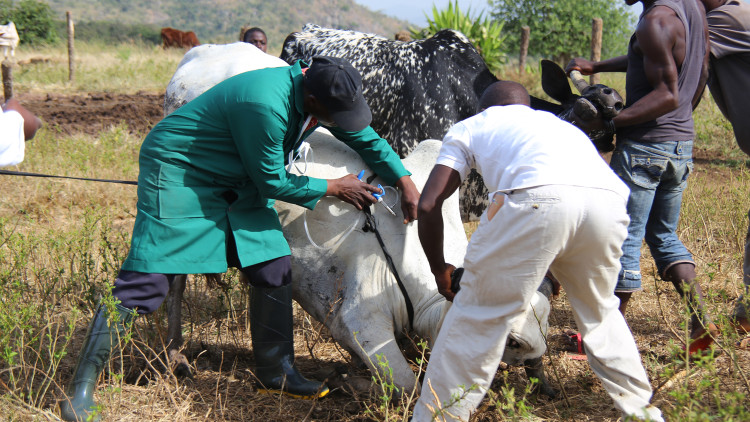 Nigeria: ICRC vaccinates 111,000 head of livestock