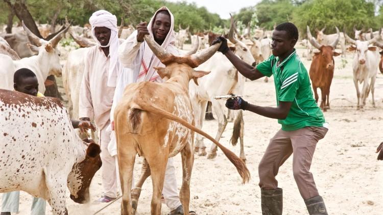 Protéger les moyens de subsistance des éleveurs grâce à une campagne de vaccination du bétail