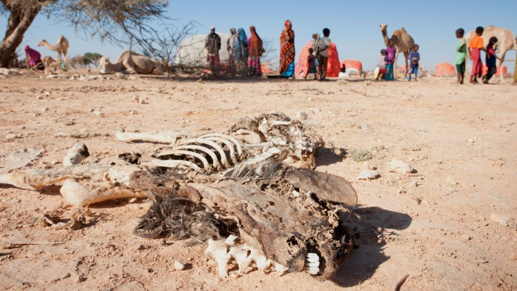 Herds die because of severe drought