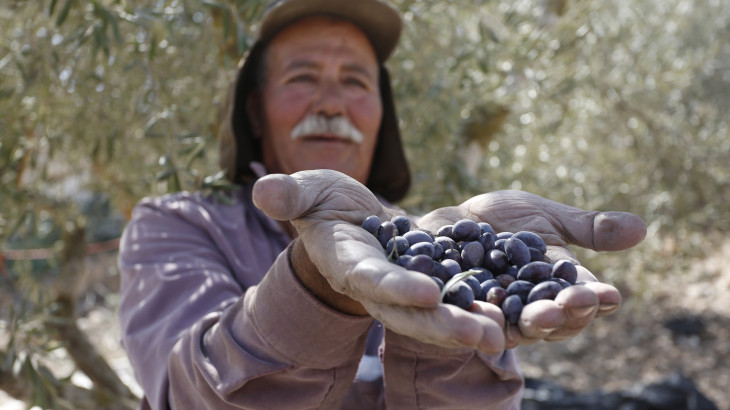2021 Olive harvest season in the West Bank amidst a triple challenge