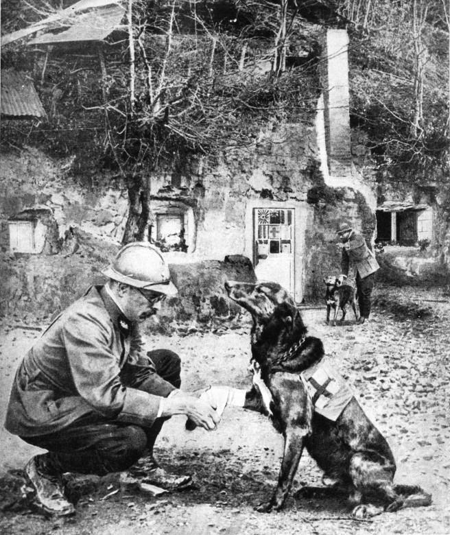 Санитар делает перевязку собаке, которая обучена искать раненых.