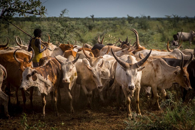 Un ganado saludable es un buen sustento para las comunidades.