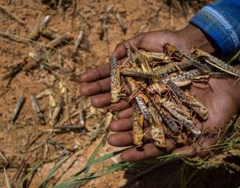 Afrique de l'Est : les paysans face à une nouvelle invasion de criquets au moment où le monde se débat contre le COVID-19