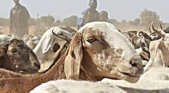 Mali : vacciner le bétail, principal moyen de subsistance