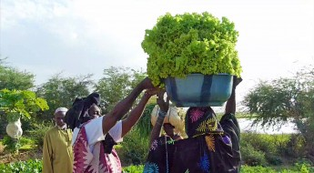 Mali : la culture maraîchère reprend à Gao