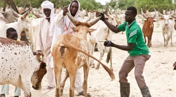 Chad: protecting livelihoods through livestock vaccination