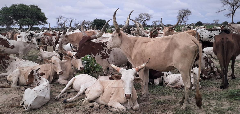 Covid-19, violences, changement climatique : le désarroi des éleveurs du Lac Tchad
