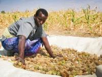 Somalia: hacia la autosuficiencia mediante las cooperativas agrícolas