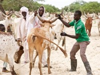 Chade: proteger os meios de subsistência com a vacinação dos animais