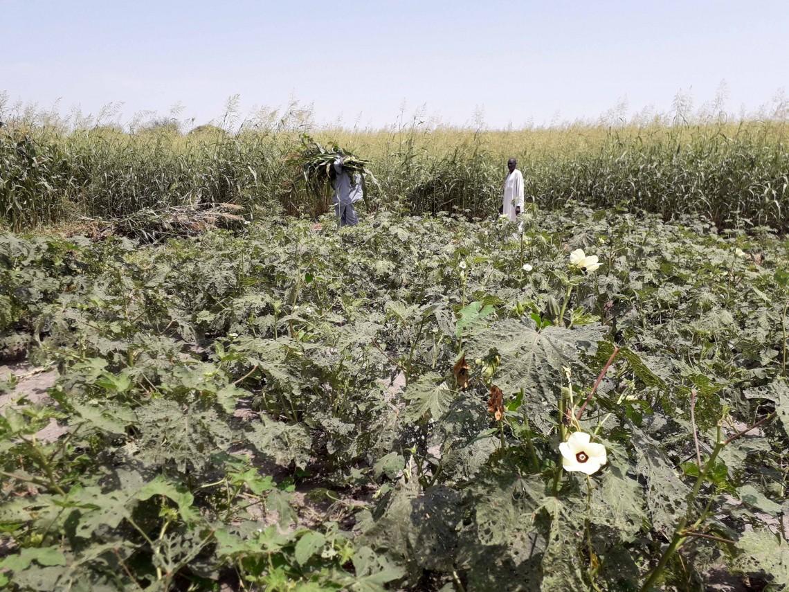 Kangou. Une vaste plantation de gombos et, plus loin, de maïs. CICR