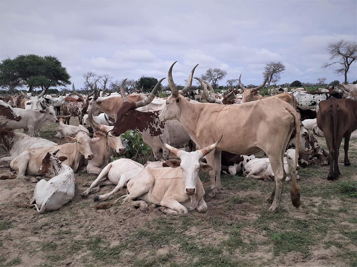 Im Tschad sind die nomadischen Hirten mehrfach bedroht: durch bewaffnete Gewalt, die COVID-19-Pandemie und den Klimawandel. IKRK